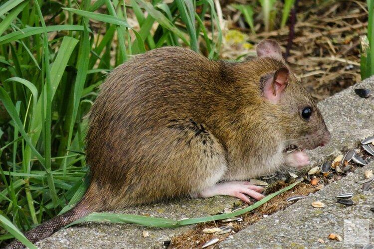'Ratten extra reden om geen afval te dumpen'