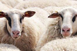 Geniet van Geniedijk, maar houd rekening met de schapen